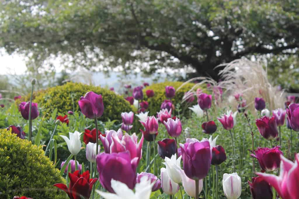 Purple blend of tulips in a planted border with box balls with rural views in the distance