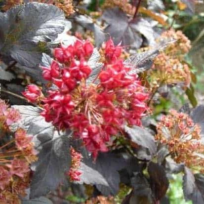 Physocarpus