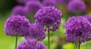 allium-purple-sensation