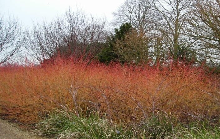 cornus midwinter fire prune