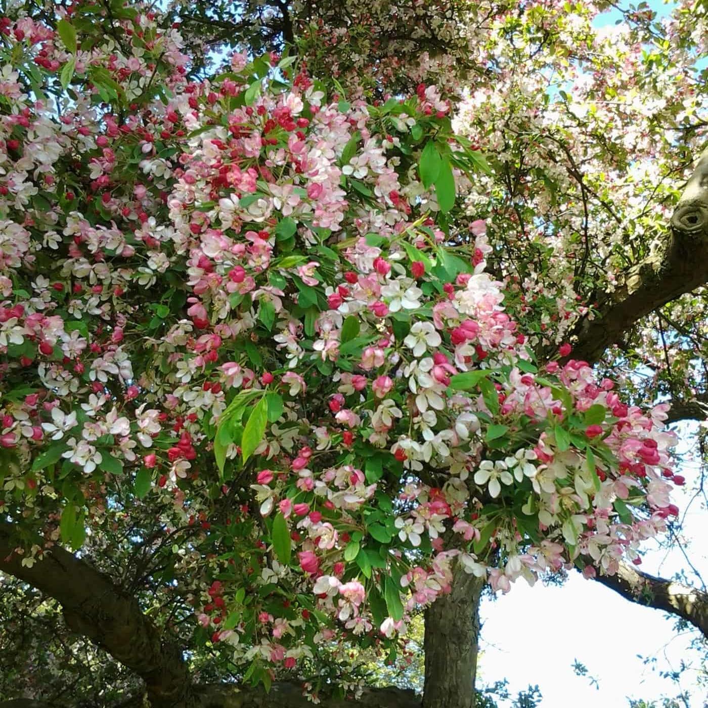 Malus floribunda tree