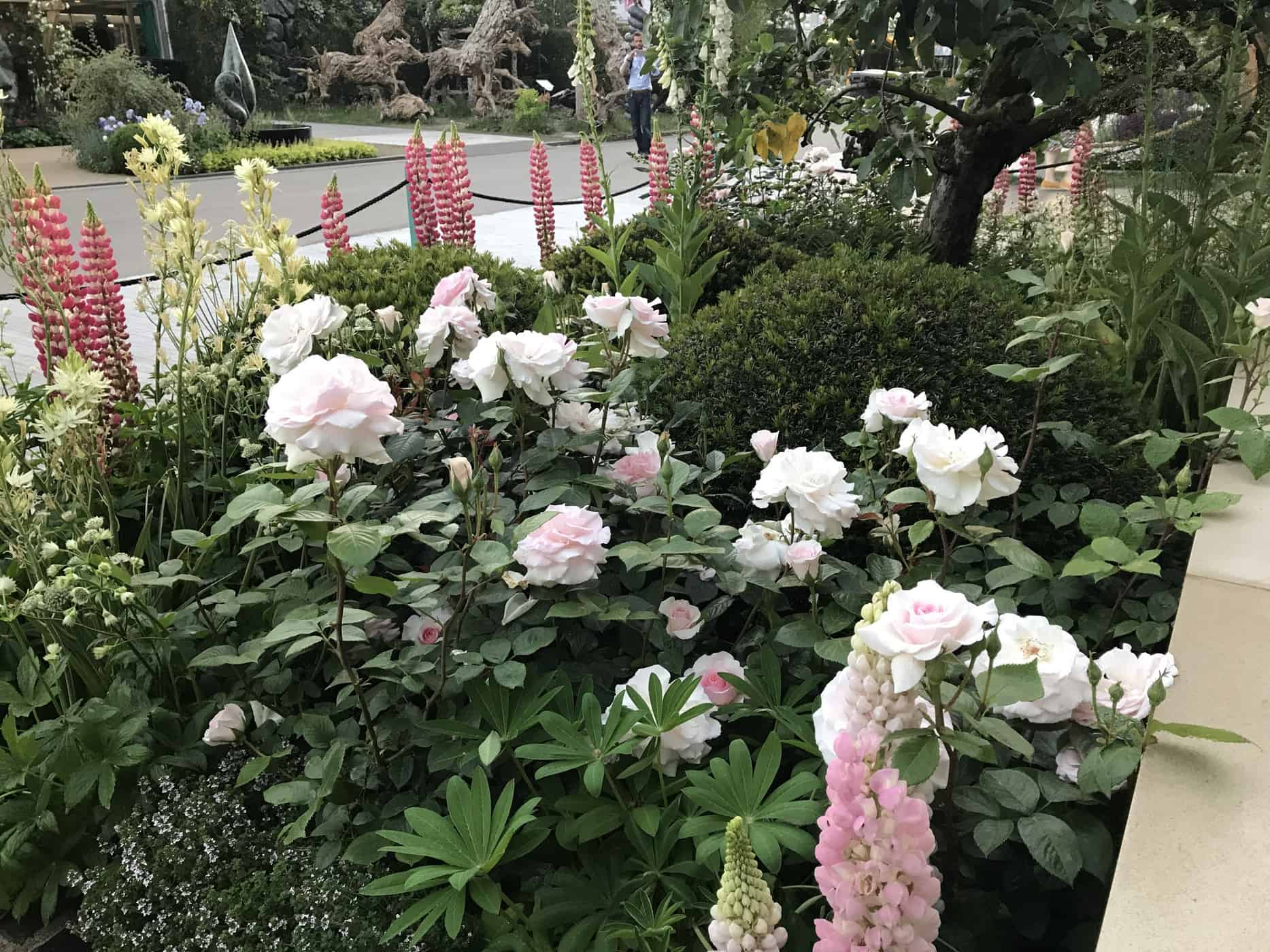 Lupin rose image stock. Image du floraison, lame, grand - 5707839