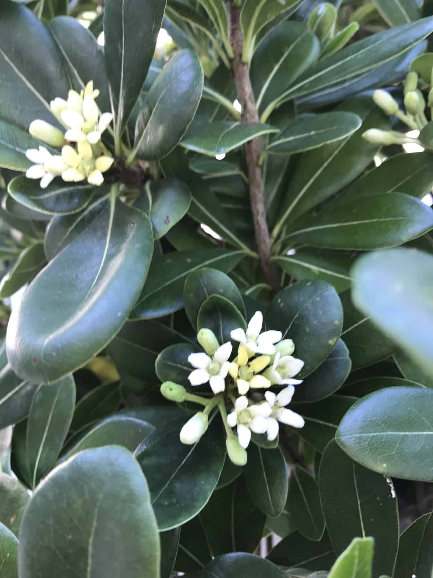 Pittosporum tobaria makes great topiary alternative its currently in full flower end of june and although thats not really the reason for owning one the creamy white waxy flowers do make it even more mightylinksfo