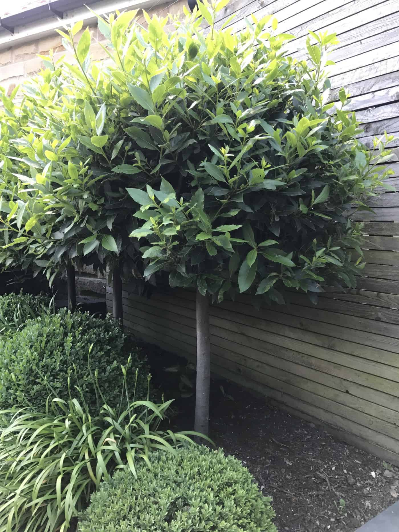 Topiary My Five Favourite Evergreen Shrubs