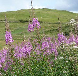 Common British perennial weeds