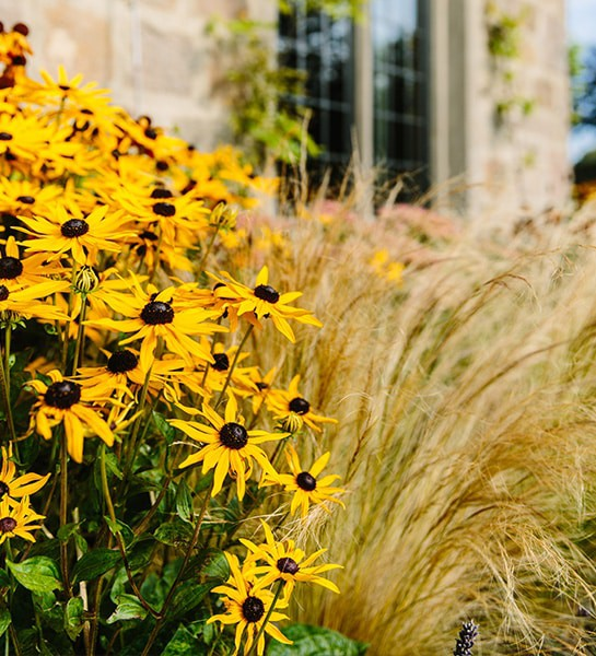 Planting-Plans-Rudbeckia-'Goldsturm'-Close-up