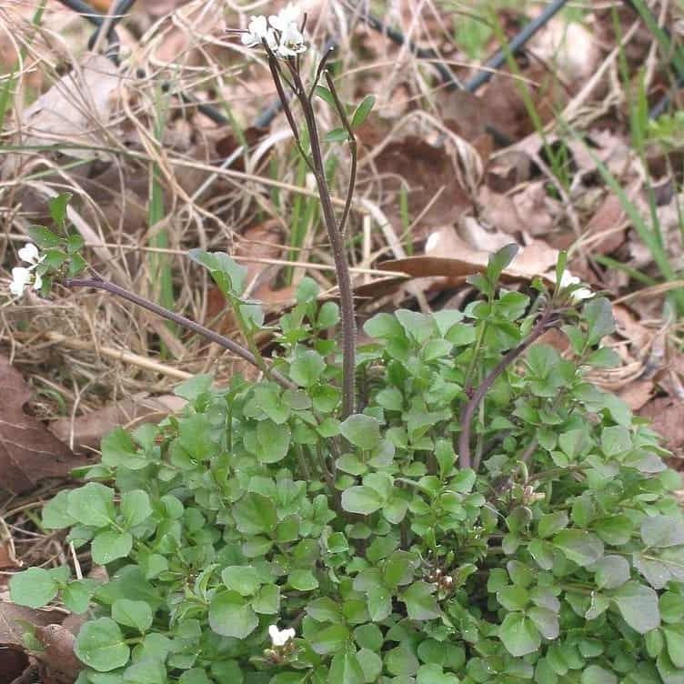 Common British annual weeds