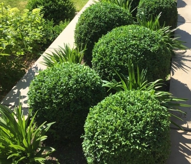 Substitutes for Buxus sempervirens