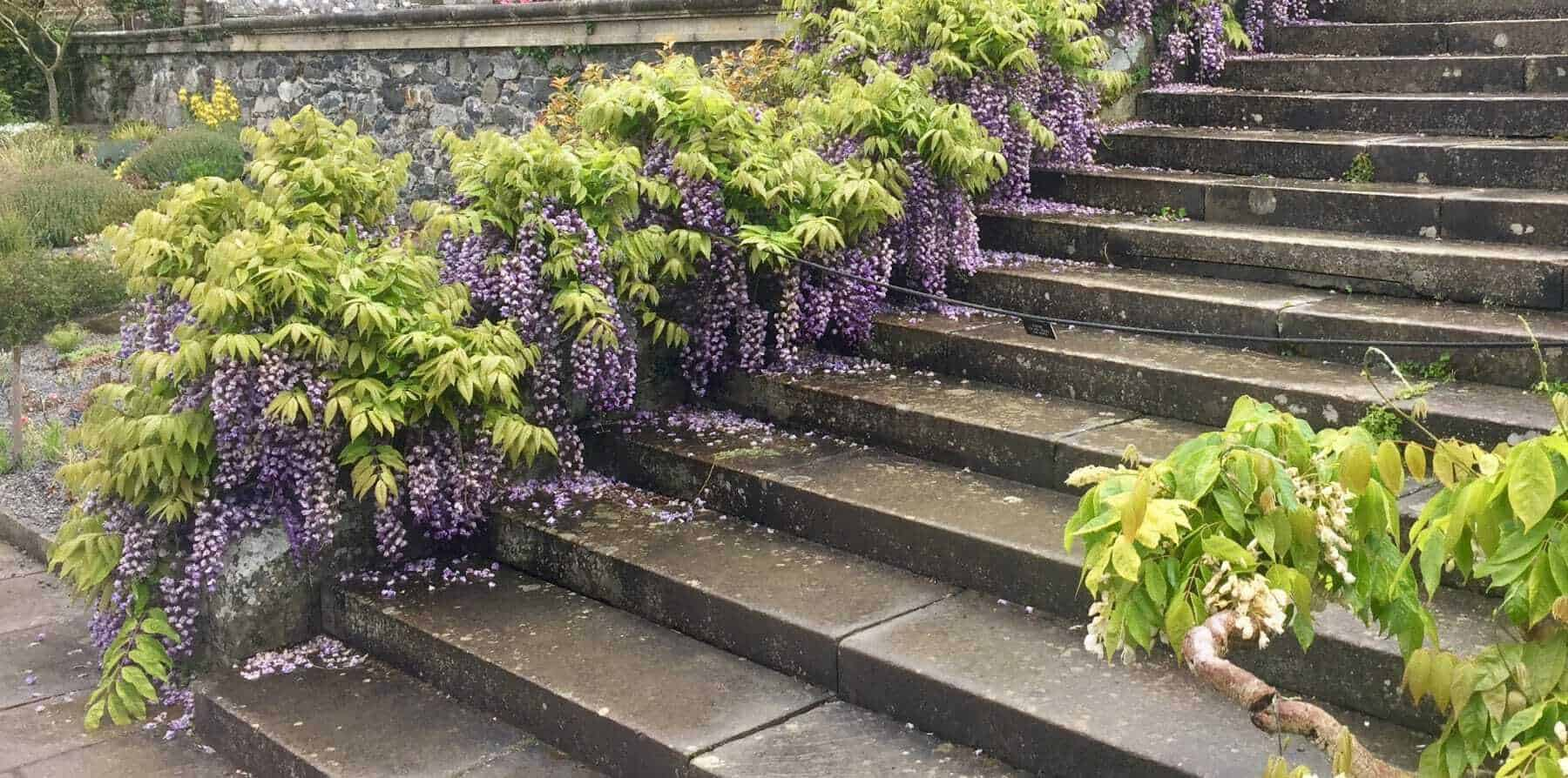 Wisteria Care Bestall Co How To Plant Prune And Train