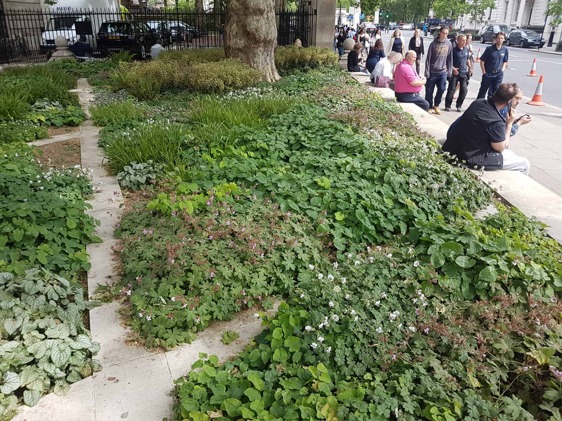 Low-growing dry shade ground cover plants in London