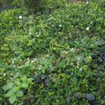 Shade ground cover plants in Kings Cross Dan Pearson