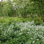 Geranium sylvaticum 'Album' (white wood cranesbill), and biennials such as the acid green Smyrnium perfoliatum (perfoliate alexanders) spread themselves about.