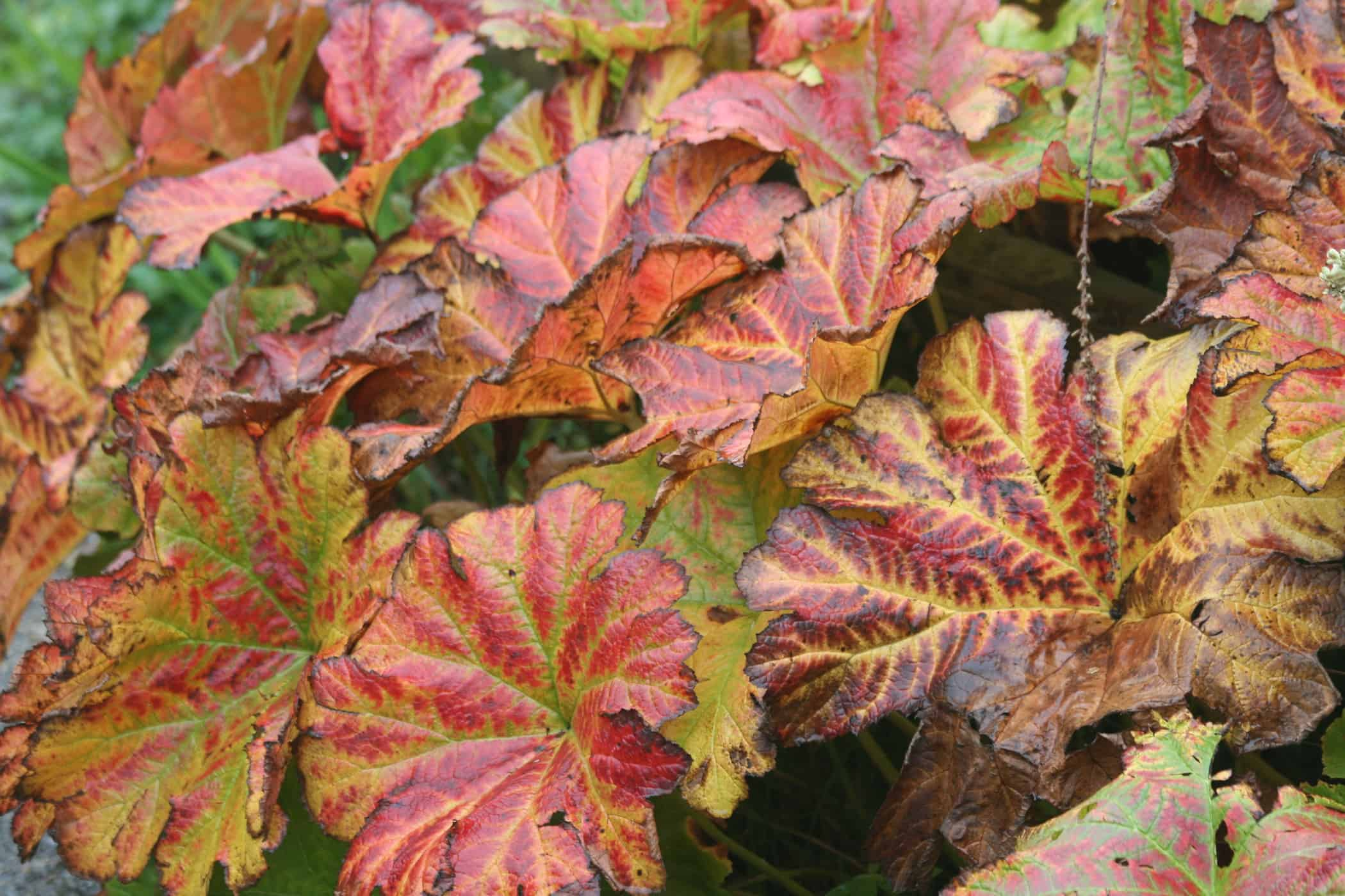 Autumn foliage colour of Darmera