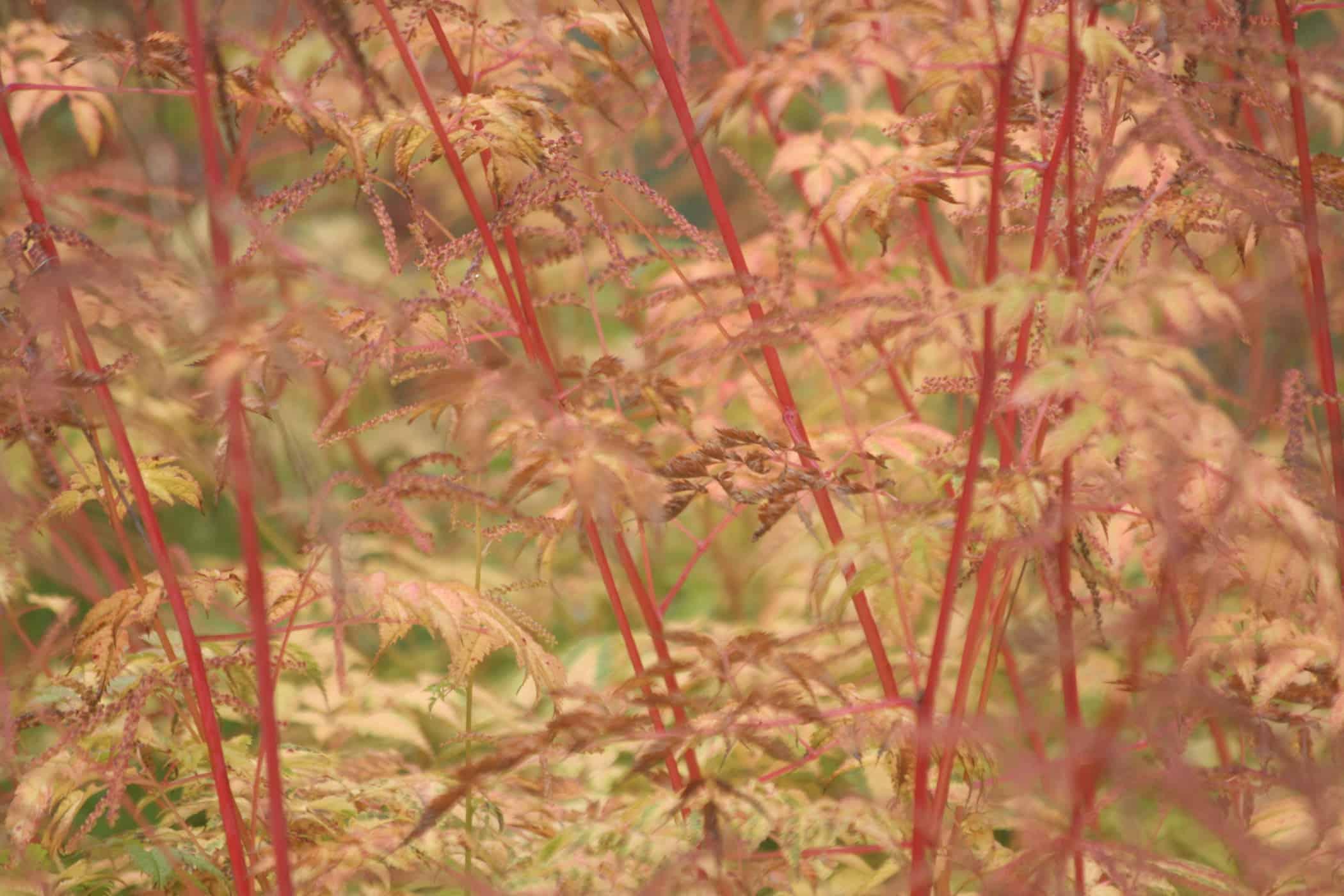 Autumn foliage colour of Aruncus