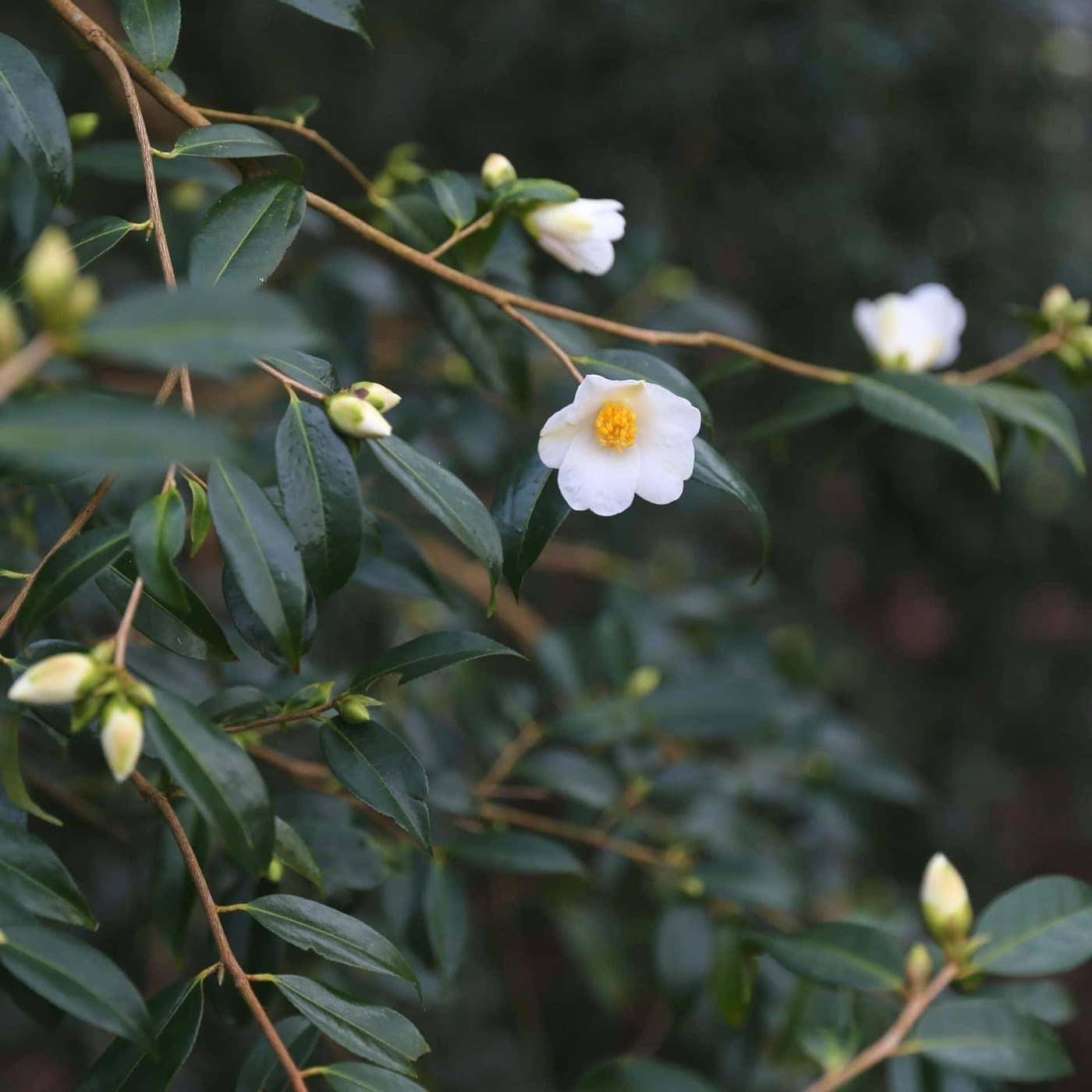 Camellia cuspidata x saluenensis 'Michael', a winter flowering Camellia
