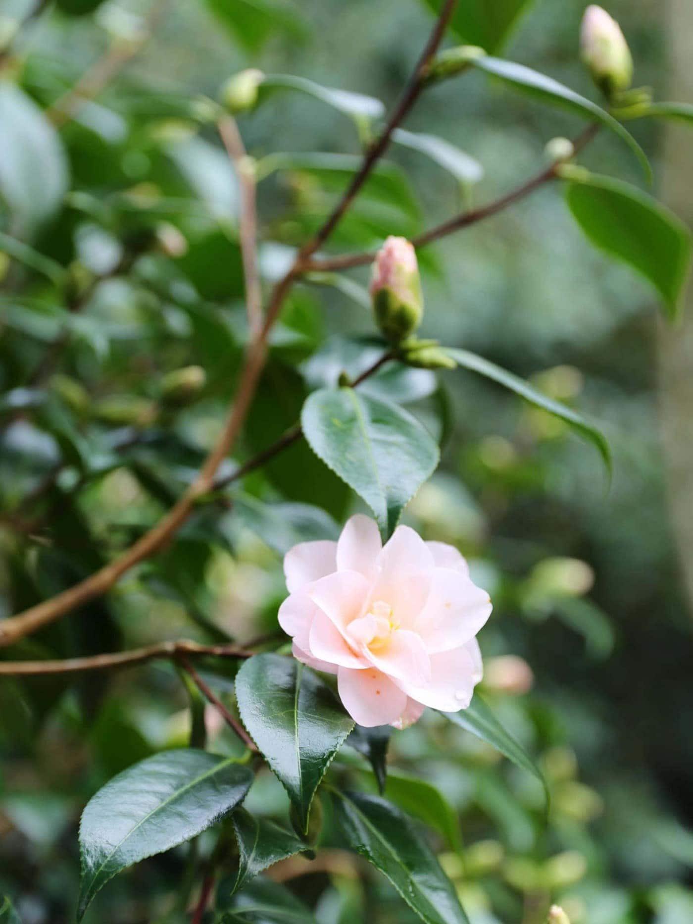 Camellia japonica 'Hagoromo' winter flowering camellias