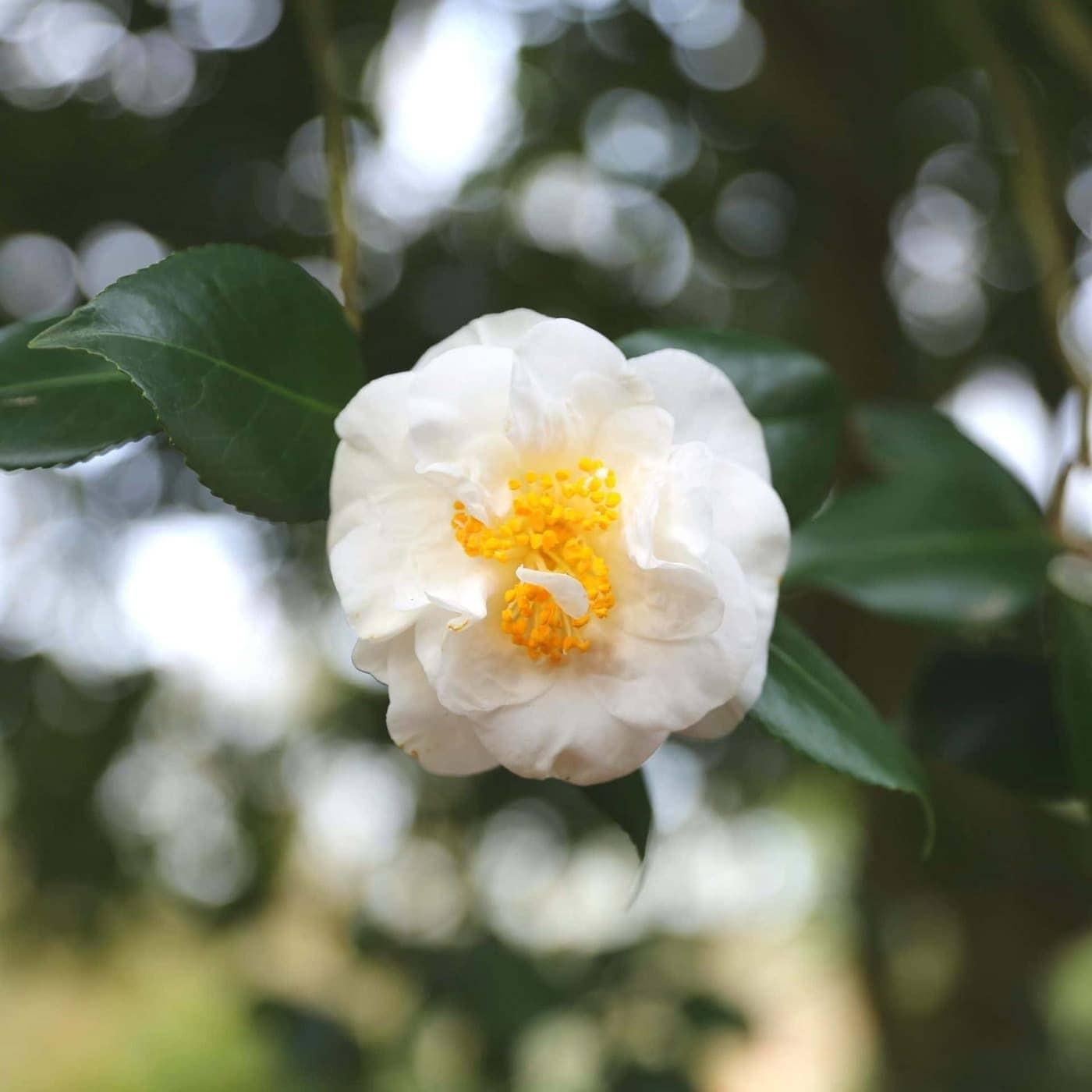 Camellia japonica 'Hakurakuten' winter flowering camellias