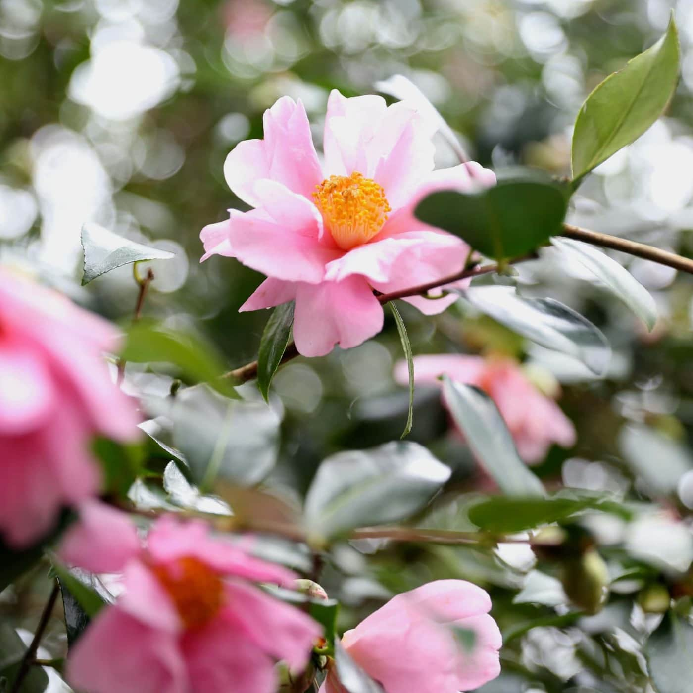 Camellia reticulata × sasanqua 'Show Girl' winter flowering camellias