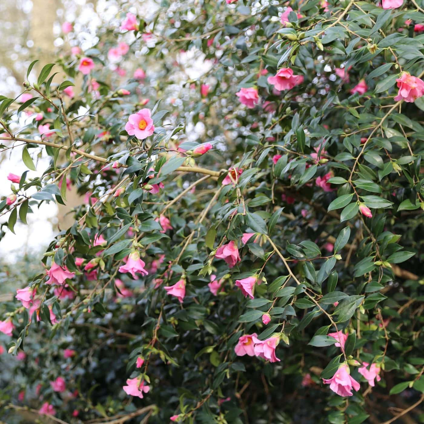 Camellia saluenensis 'Bartley Pink' winter flowering camellias